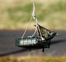 Starling on a suet feeder