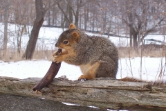 Hungry Squirrel lunching on a Banana