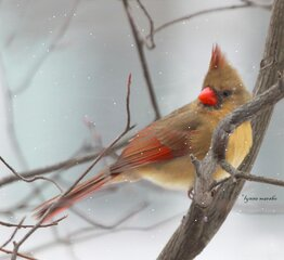 MANY CARDINALS AT MY BIRD FEEDER