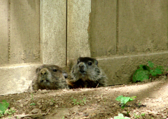 Groundhog Family in Friend's Backyard