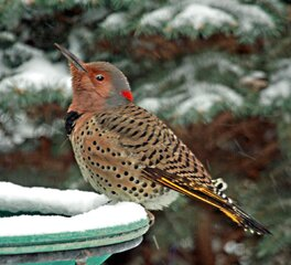 Yellow Shafted Female Flicker