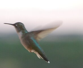 A different hummingbird in flight