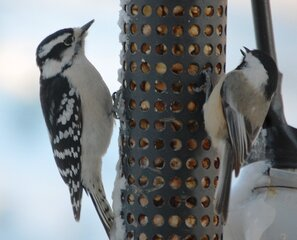 Woodpecker and a Titmouse on feeder