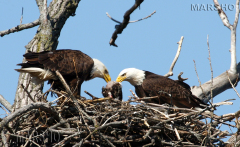 Mom and Dad Eagle