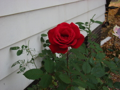 Beautiful Late October Rose