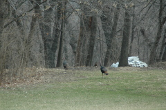 Backyard Spring turkey next to WEEK