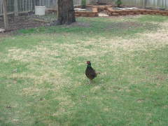 Backyard Pheasant