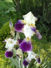 A breath of Iris, one of many types!
