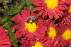 Bees find a feast at the mums
