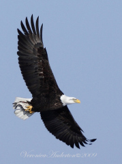 Eagle Soaring with Fish