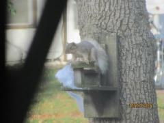White-tailed squirrrel