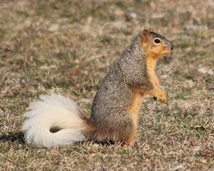 White tail squirrel