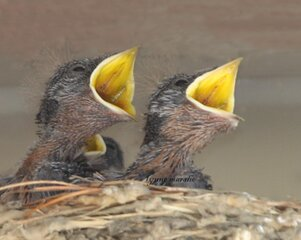 HUNGRY BARN SWALLOW BABIES