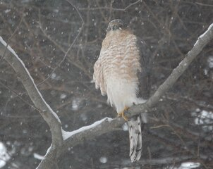 Redtailed hawk in a snow storm