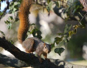 A Squirrel with a long tail