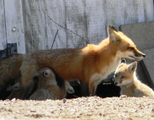 The Fox Family Returns