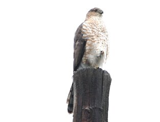 Red-tailed  hawk in todays' rain