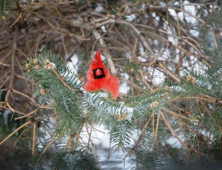 A snowy cardinal in a pine tree