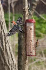 Red Bellied Woodpecker in Full Display