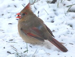 Cardinal feeding in the snow