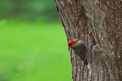 Might be Red Bellied Wood Pecker