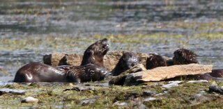 OTTER FAMILY AT BANNER MARSH