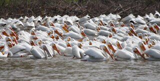 HUNDREDS OF PELICANS