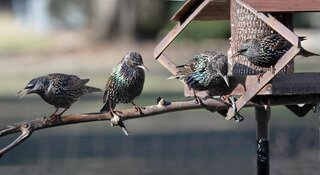 HOW MANY STARLINGS CAN BE ON A FEEDER