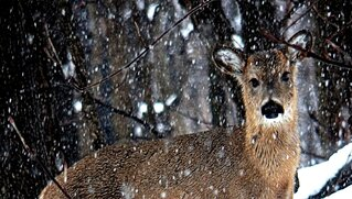 Doe Enjoying the Snow Today? Maybe....