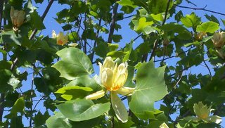 Beautiful Tulip Poplar Blossom