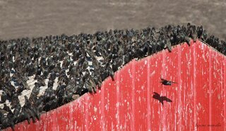 STARLINGS TAKE OVER in Peoria County