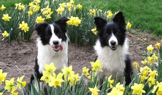 Border Collie Spring