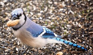 Bluejay with a peanut in its peak
