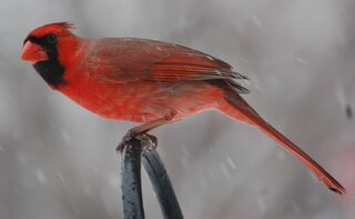 Cardinal in todays snow.