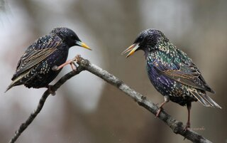 STARLINGS TALKING