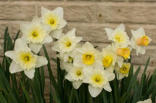 Daffodils Bloom Early