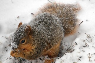 A snowy squirrel