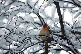Cardinal in a snow covered tree