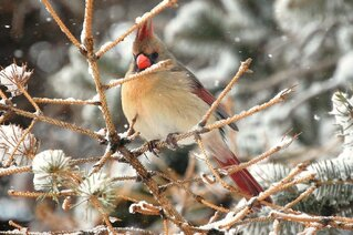 Lady cardinal in snow storm 3-5-2013