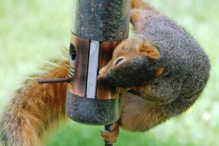 A robber squirrel