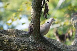 Ringed Turtle Dove
