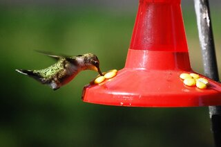 A beauiful hummingbird