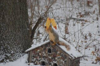 Snow or not, a squirrel has to eat.