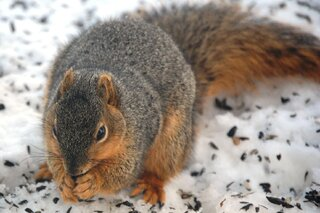 Squirrel eating sunflower seeds in snow