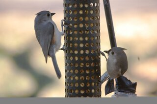 Two titmice on a peanut feeder