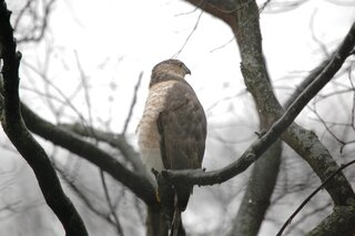 Hawk in a redbud tree