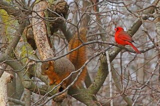 Squirrel & Cardinal Ignoring Each Other