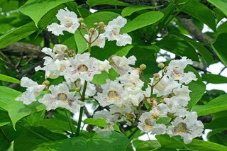 Catalpa Tree Flower