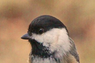 Portrait Of A Black Capped Chickadee