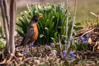 The robins have invaded the garden